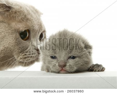 Mother-cat and small kitten. Isolated on white
