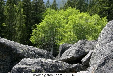 Bright Tree In Boulders