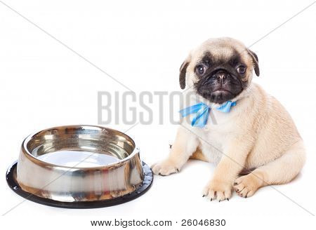 Puppy of pug near bowl. Isolated on white