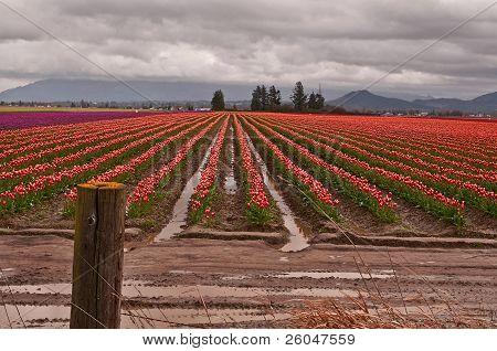 Tulip Farmland In Spring Storm