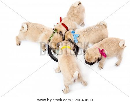 Puppies of pug near bowl with milk. Isolated on white