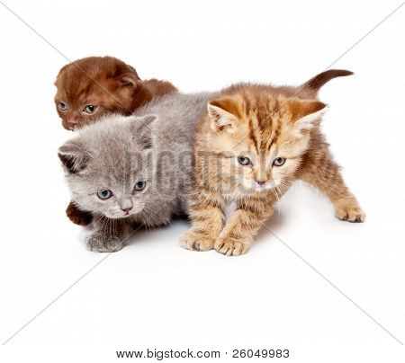 a little funny scottish straight kitten is on the floor. isolated on a white background