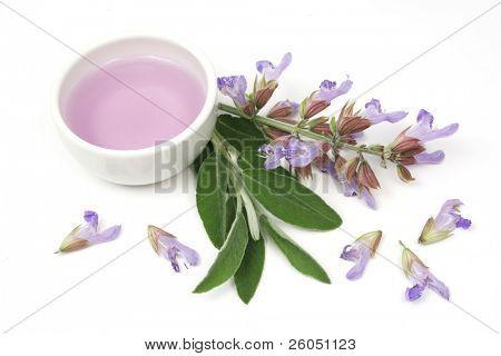 Extrahieren von Salbei Anlage (lat. Salvia Officinalis) für Aromatherapie