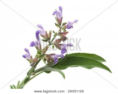 Sage (lat. Salvia officinalis) flower and leafs isolated on white