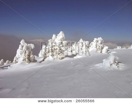trees covered in snow aspen