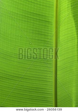 close-up of a banana leaf