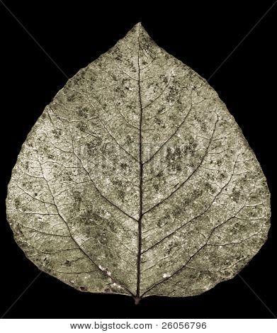 toned  aspen leaf