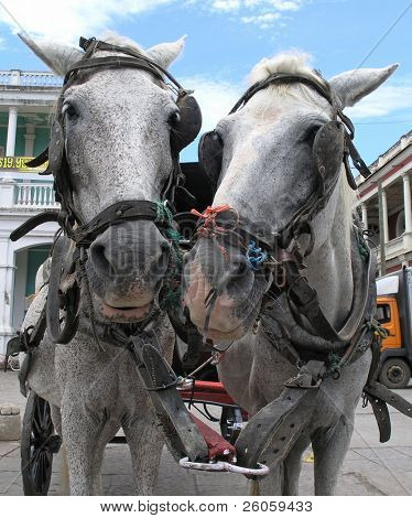two cart horses in granada nicaragua
