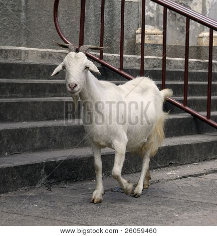 a goat in the street  granada nicaragua
