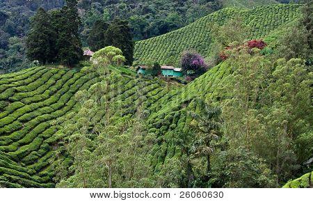 cameron highlands Malaysia,