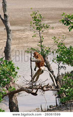 proboscis; monkeys in borneo