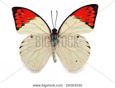 great orange tip( hebomoia glaucippe)