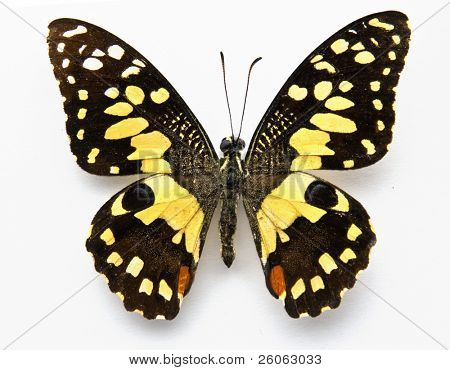 lime butterfly (papilo demoles)