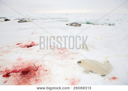 Baby harp seal pup on ice of the White Sea - blood after delivery of seal