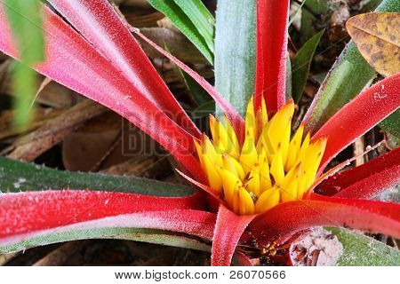 Bromeliad in tropical forest of South America