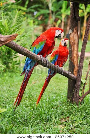 Papagaios: Araracanga (ara macao)