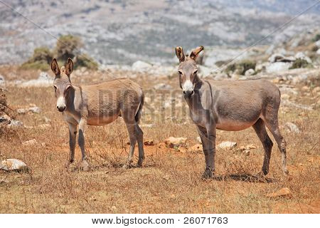 Wild donkey mule. Island Socotra