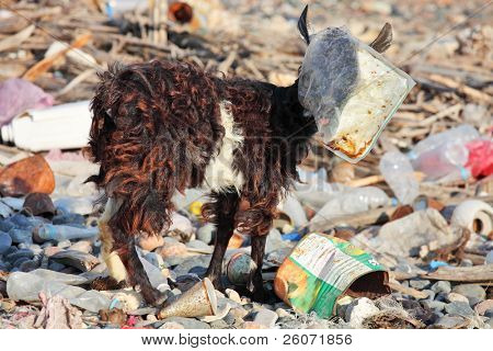 Goat with plastic bag on head â?? man-made environmental disaster