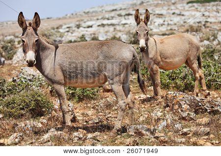 Zwei Esel Maultier. Insel Sokotra