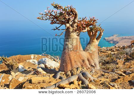 Bottle tree - adenium obesum - endemic tree of Socotra Island with turquoise sea water background at Socotra Island
