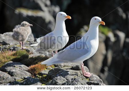 Seagull - Glaucous Gull (Larus hyperboreus), with nestling on a rock on a background of the blue sea. Russian Arctic, Franz Josef Land