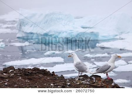 Seagull - Glaucous Gull (Larus hyperboreus) with iceberg background, Franz Josef Land