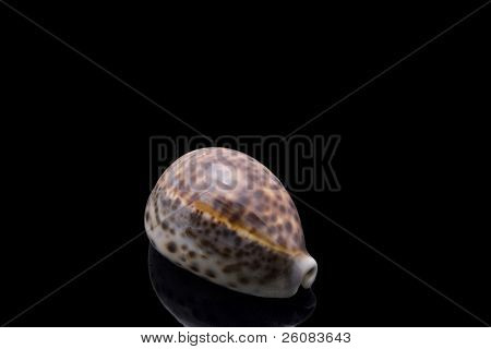 Cowrie Sea shell