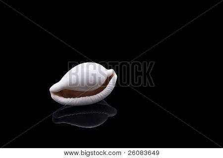 White cowrie sea shell