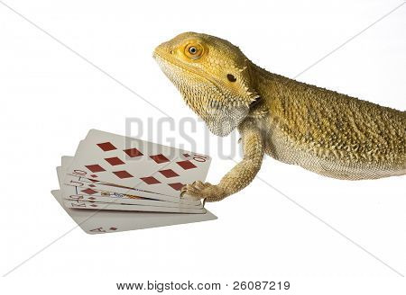 bearded dragon poker face isolated on white background
