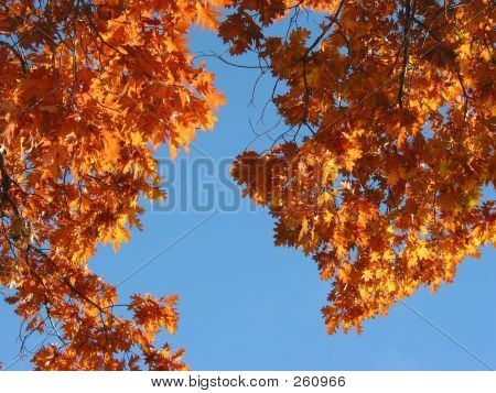 Fall Oak And Blue Sky