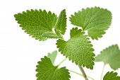 image of catnip  - Catnip on a white background - JPG