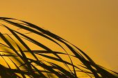 image of bull rushes  - Reeds blowing in the wind against the early morning sunrise - JPG