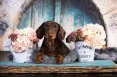 dachshund puppy brown tan color and flovers poster
