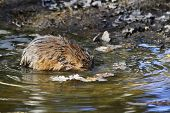picture of muskrat  - The photo of muskrat dived into the water - JPG