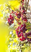 Vineyard Vineyard Red Leaves Berries With Sunrays Sunset poster
