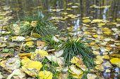 Green Grass Among Yellow Fallen Leaves, Puddles, Autumn, Fallen Birch Leaves poster