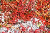 stock photo of bearberry  - Autumn color palette in the nature  - JPG
