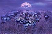 Zebras In The African Savannah. Night Lunar African Landscape. Wildlife Of Africa. poster