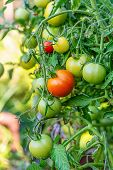 Tomatoes In The Garden, Vegetable Garden With Plants Of Red Tomatoes. Ripe Tomatoes On A Vine, Growi poster