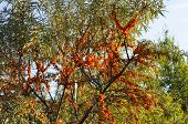 Branches With Clusters Of Juicy Orange Berries Of Sea-buckthorn. Tree With Ripe Sea-buckthorn. Medic poster