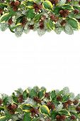 Natural winter and Christmas flora background border with snow covered spruce pine, ivy leaf sprigs, poster