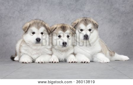 Portrait Of Malamute Puppies