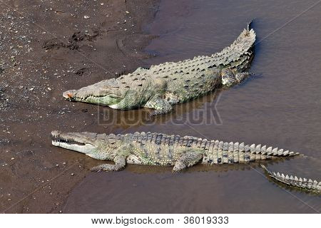 Large American Crocodiles