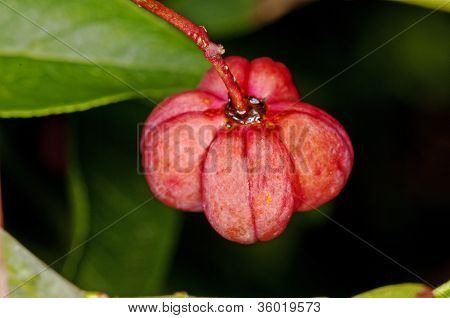 European Spindle Tree