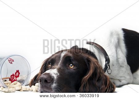 hunting dog resting with goodies