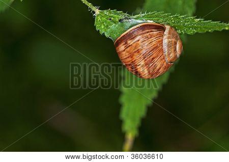 Lage Garden Snail, Helix Pomatia
