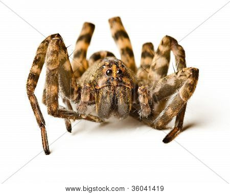Close up of wolf spider