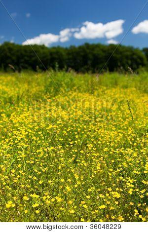 Small Celandine Field (ficaria Ranunculoides)