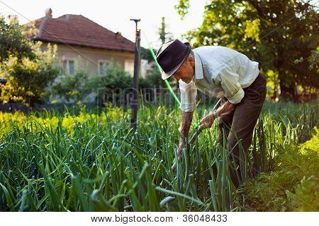 Old Man Weeding The Garden