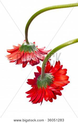 Two Hanging Red Gerbera Flower From The Top